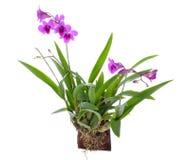 Flor de la orquídea aislada Fotografía de archivo
