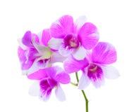 Flor de la orquídea aislada Fotos de archivo