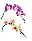 Flor de la orquídea aislada en blanco Foto de archivo libre de regalías