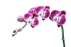 Flor de la orquídea aislada en blanco Fotografía de archivo libre de regalías