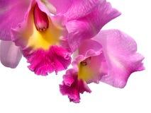 Flor de la orquídea de Cattleya aislada en blanco Foto de archivo