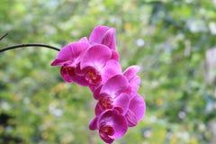 Flor de la orquídea de mariposa Foto de archivo