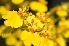 Flor de la orquídea de Oncidium Imagenes de archivo