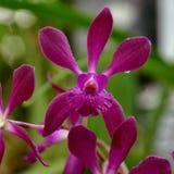 Flor de la orquídea del Laelia Imagenes de archivo