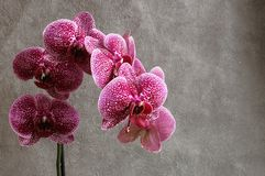 Flor de la orquídea del phalaenopsis de las flores de las orquídeas, en el CCB oscuro fotos de archivo