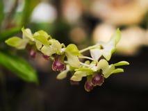 Flor de la orquídea del verde amarillo Foto de archivo libre de regalías