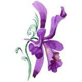 Flor de la orquídea del Wildflower en un estilo de la acuarela aislada Fotos de archivo libres de regalías