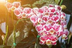 Flor de la orquídea en el jardín en el invierno o el día de primavera Fotos de archivo libres de regalías