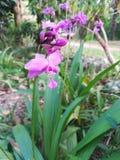 Flor de la orquídea en Sri Lanka Foto de archivo
