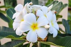Flor de la orquídea en Tailandia Foto de archivo libre de regalías