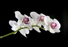 Flor de la orquídea en un fondo negro Imagen de archivo libre de regalías