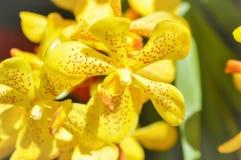 Flor de la orquídea o flabellata amarilla Rolfe ex Downie de Aerides Imagenes de archivo