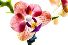 Flor de la orquídea Foto de archivo libre de regalías