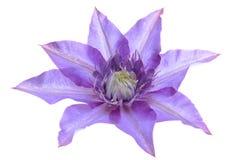 Flor de la púrpura de la clemátide Foto de archivo libre de regalías