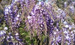 Flor de la púrpura de la glicocola foto de archivo libre de regalías