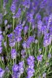 Flor de la púrpura de la lavanda Fotografía de archivo libre de regalías