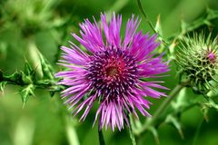 flor de la púrpura de la primavera Foto de archivo
