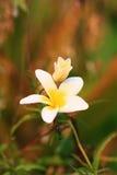 Flor de la pagoda, flor blanca del Plumeria Imágenes de archivo libres de regalías