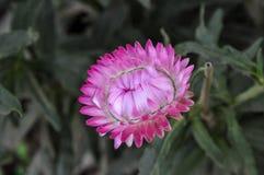 Flor de la paja, color rosado eterno Fotografía de archivo libre de regalías
