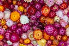 Flor de la paja, eterna Imagenes de archivo