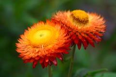 Flor de la paja o flor eterna o de papel de la margarita Imagenes de archivo