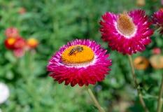 Flor de la paja y pequeña abeja Imagen de archivo