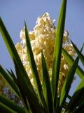 Flor de la palma Imagen de archivo libre de regalías