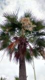 Flor de la palma Imágenes de archivo libres de regalías