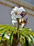 Flor de la palmera de Madagascar Foto de archivo