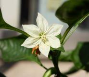 Flor de la paprika Fotos de archivo