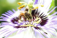Flor de la pasión Fotografía de archivo