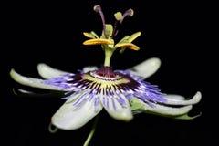 Flor de la pasión Imagen de archivo libre de regalías