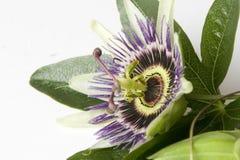 Flor de la pasión Imágenes de archivo libres de regalías