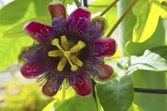 Flor de la pasión. Fotos de archivo libres de regalías