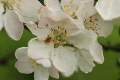 Flor 26 de la pasión Foto de archivo