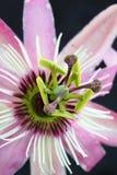 Flor de la pasión fotos de archivo libres de regalías