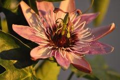 Flor de la pasión de las sombras Fotos de archivo