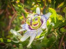 Flor de la pasión en el sol del verano Imagen de archivo