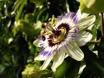 Flor de la pasión Foto de archivo libre de regalías