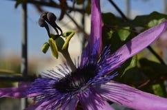 Flor de la Pasion stockbild