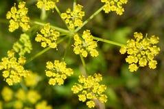 Flor de la pastinaca (Pastinaca sativa) Fotos de archivo