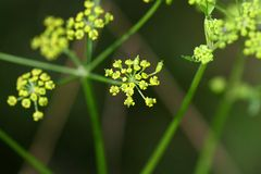 Flor de la pastinaca salvaje (Pastinaca sativa) Fotografía de archivo