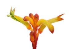 Flor de la pata de canguro Fotos de archivo