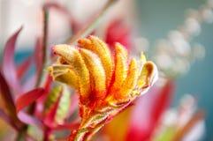 Flor de la pata de canguro Fotos de archivo libres de regalías