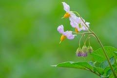 Flor de la patata Fotos de archivo libres de regalías