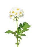 Flor de la patata imagenes de archivo