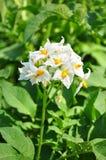 Flor de la patata foto de archivo