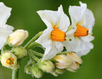Flor de la patata fotografía de archivo