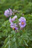 Flor de la patata Fotografía de archivo libre de regalías