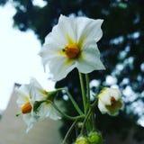 Flor de la patata Fotos de archivo